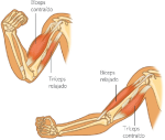 musculos1